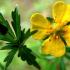 Поразительные свойства калганового корня для сильный потенции