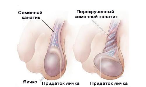 яички и головка члена
