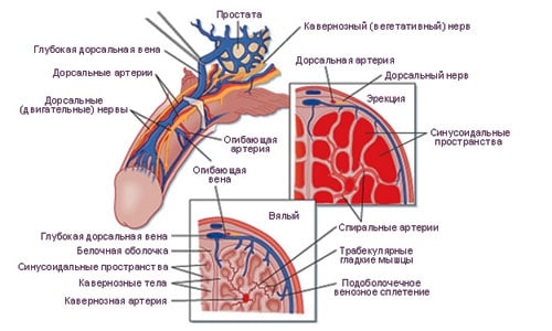 Схема мужского органа